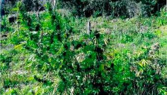 Destruyen 24 mil plantas de marihuana en Tequila, Jalisco