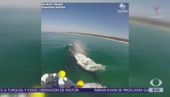 Rescatan a ballena jorobada que nadaba