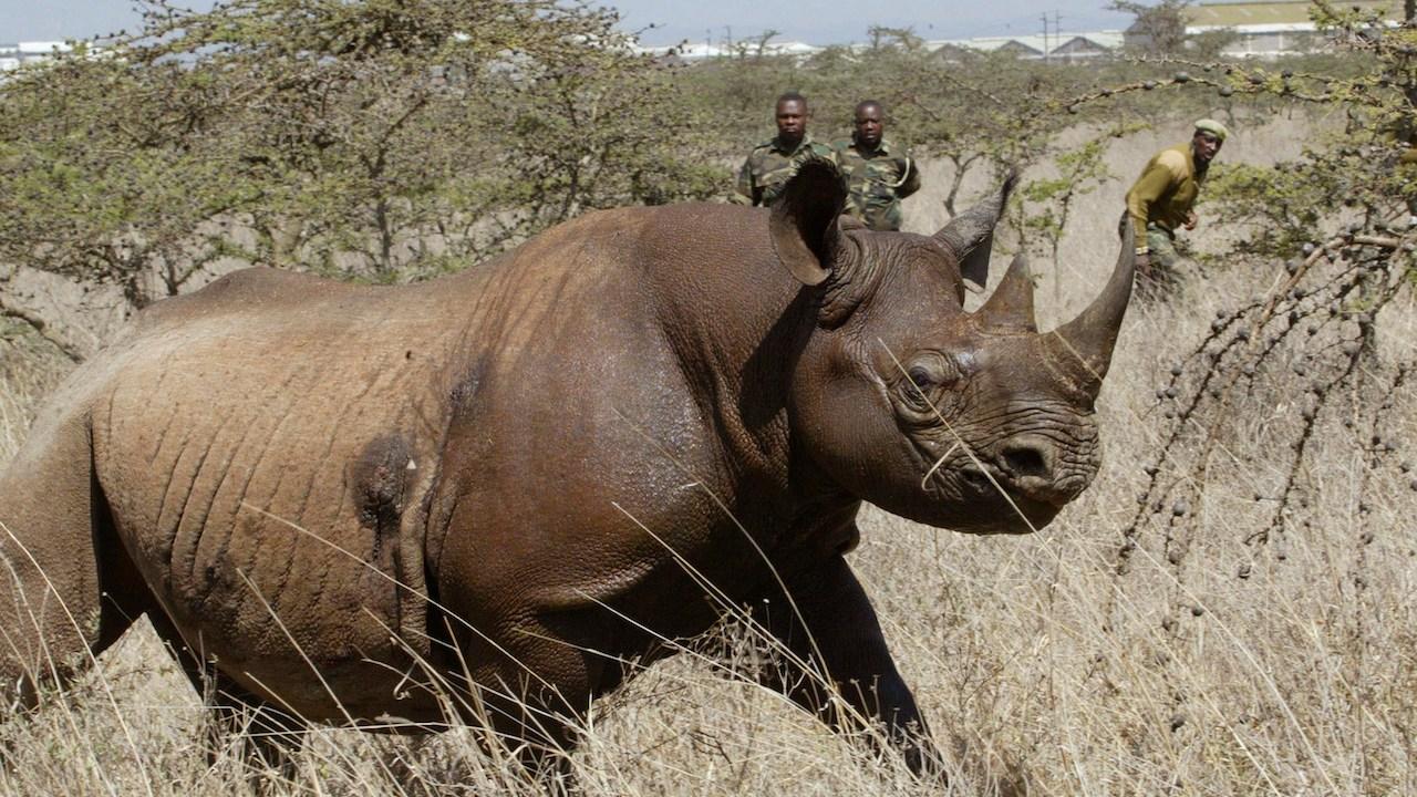 Rinoceronte-Negro-Especie-Extinto-Kenia-Taslado