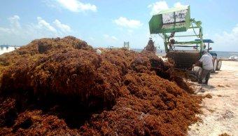 quintana roo solicitara declaratoria desastre recolectar toneladas sargazo costas