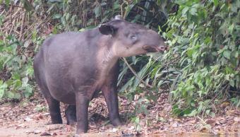 Captan tapir embarazada en reserva Montes Azules, Chiapas