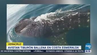 Tiburón ballena se deja ver en el mar de Veracruz