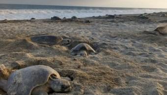 Implementan operativo de protección de tortuga marina en Playa de Escobilla, Oaxaca