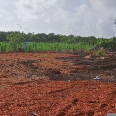 Agricultores utilizan sargazo como fertilizante