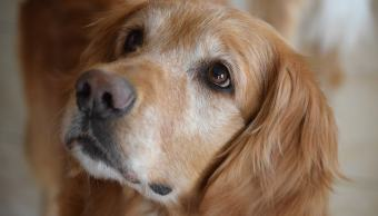 alimentos-que-no-debes-darle-jamas-a-tu-perro-golden-retriever-imagen-ilustrativa