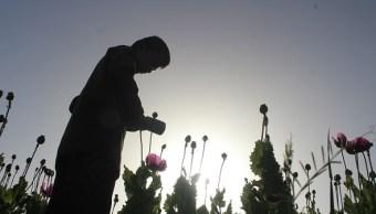 Cultivo de amapola: Guerrero propone reforma de legalización