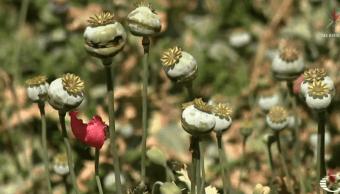 Campesinos cultivan amapola y enfrentan a criminales en Guerrero