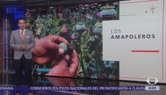 Amapoleros de Guerrero, ¿esperan amnistía de AMLO?