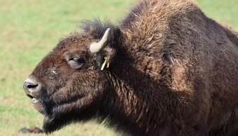 bisontes-en-mexico-recuperan-terreno-en-chihuahua