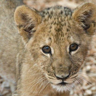 Cachorro de león africano es decomisado en Tamaulipas