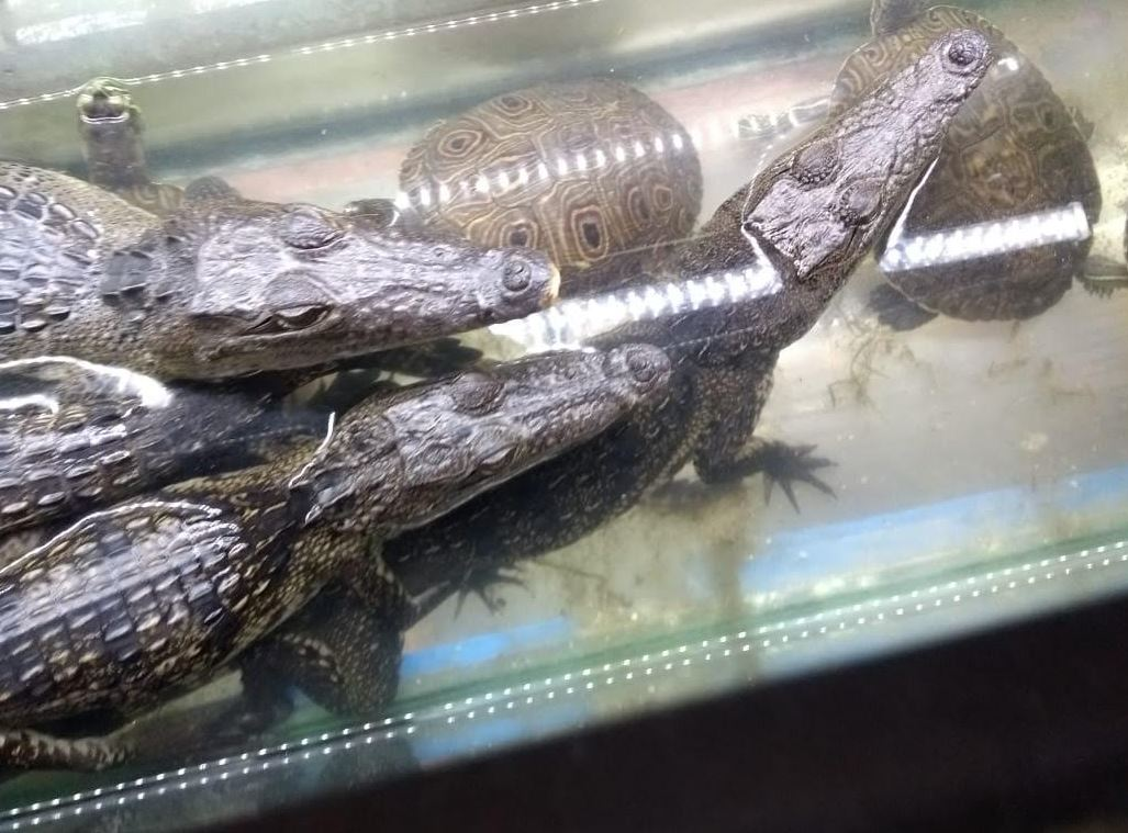 Rescatan 23 cocodrilos, 74 tortugas, 13 iguanas y serpiente en CDMX