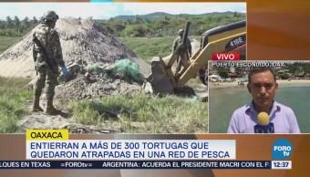 Entierran a 300 tortugas marinas que fueron halladas muertas
