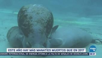 Extra, Extra: Este año hay más manatíes muertos que en 2017