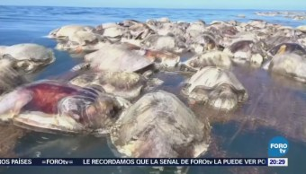 Hallan 300 tortugas muertas atrapadas en una red de pesca