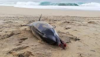 Hallan Delfín Asfixiado Playa Bachoco, Delfín Asfixiado Pañal Desechable, Delfín, Delfines, Playa Bachoco, Puerto Escondido