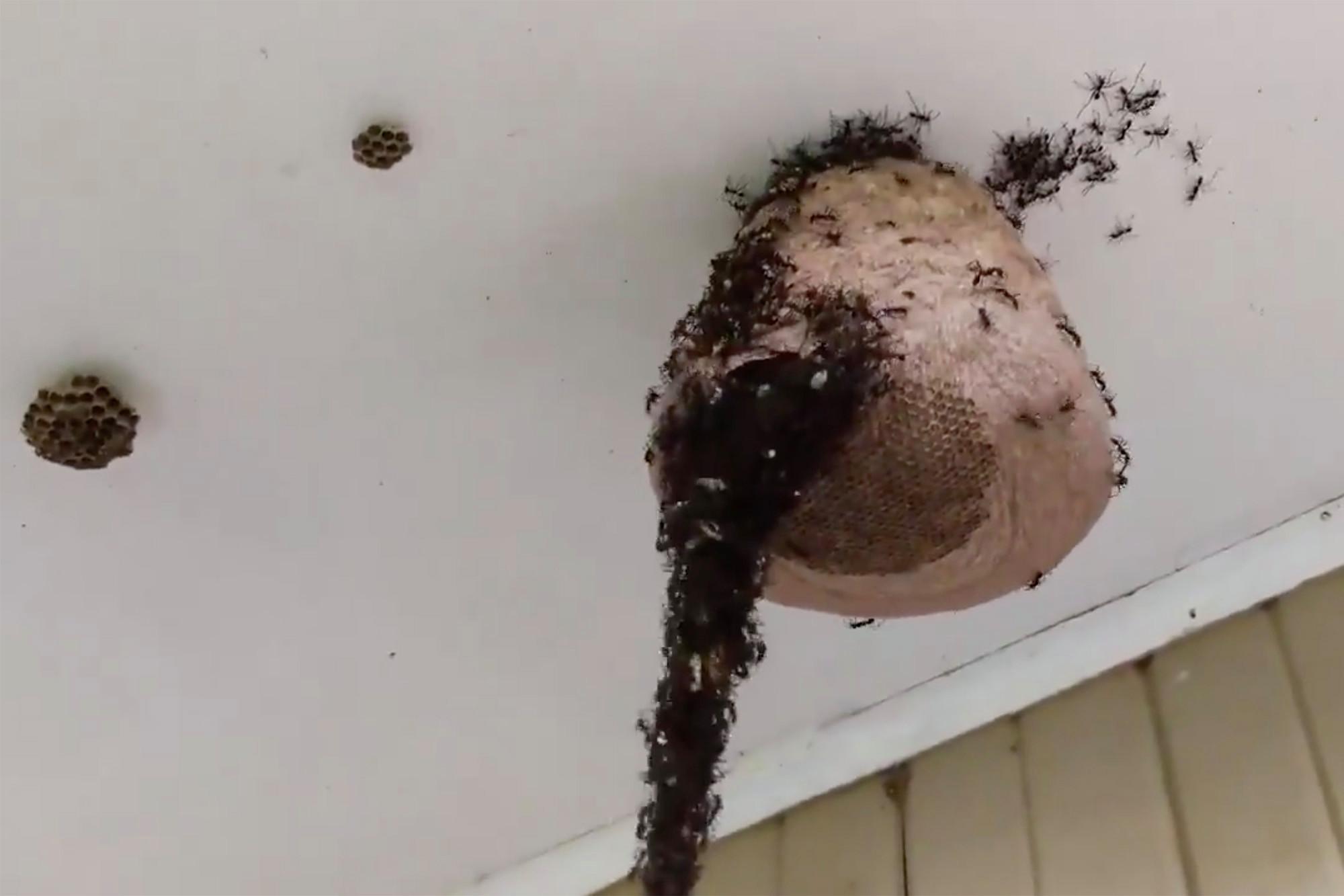 Hormigas Legionarias crean un puente para saquear un panal de avispas - Mundo