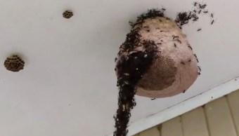 Hormiga-guerrera-hormigas-Puente-Avispas-Video-Viral-Marabunta