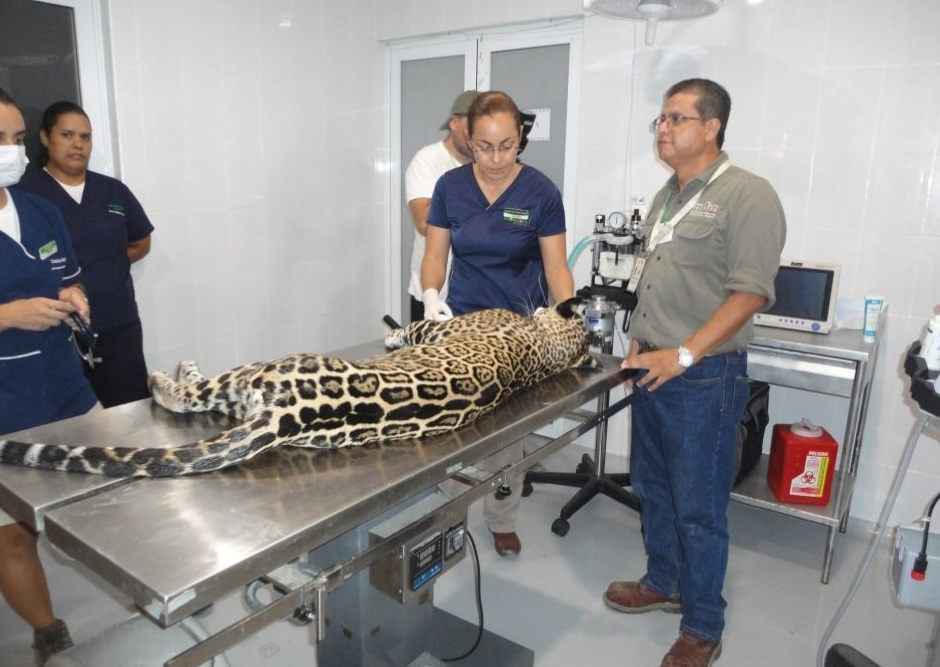 Rescatan y liberan ejemplar de jaguar en Solidaridad, Q. Roo