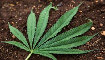 SCJN rechaza despenalización de posesión de marihuana