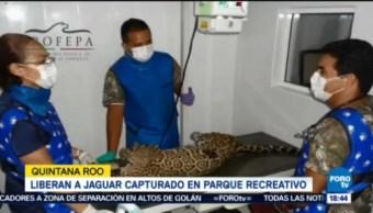 Profepa Libera Jaguar Quintana Roo