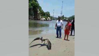 Profepa rescata a pelícano deshidratado en Acapulco