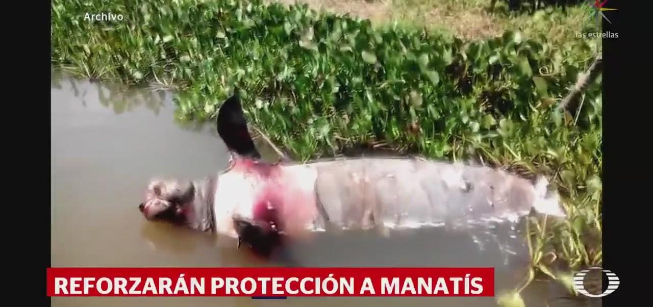 Reforzarán protección a manatíes en Tabasco
