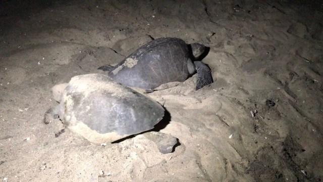 Arribo masivo de tortugas golfinas en playas de Michoacán