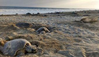 Profepa investiga la muerte de 113 tortugas en Chiapas