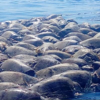 300 tortugas marinas mueren por red de pesca en Oaxaca