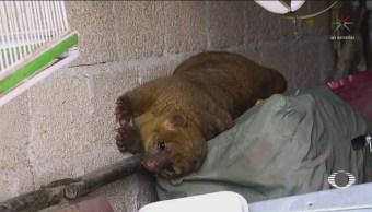 Atrapan Martucha Escapó Zoológico San Juan De Aragón