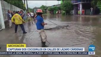 Capturan Cocodrilos Calles Lázaro Cárdenas, Michoacán