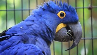 confirman-extincion-guacamayo-azul-pelicula-rio-cautiverio