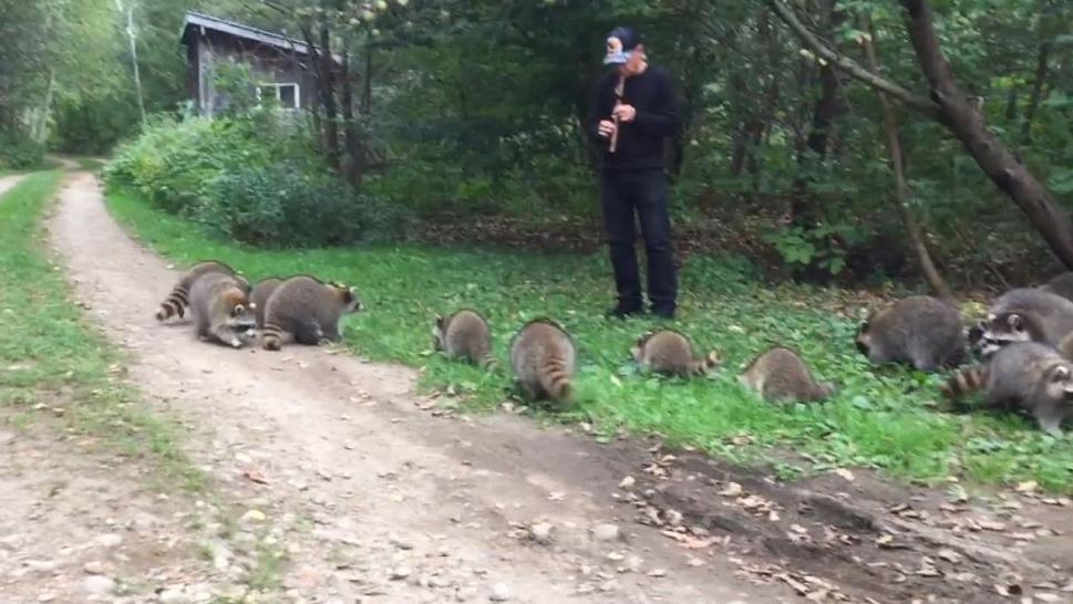Un joven atrae del bosque a unos 20 mapaches con su flauta