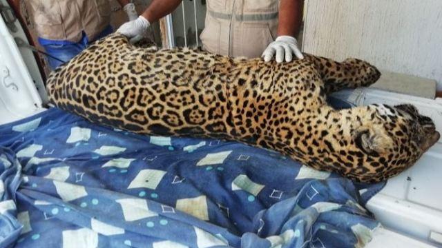 Profepa localiza cuerpo de jaguar cazado en Jesús Carranza, Veracruz . (Sitio oficial)