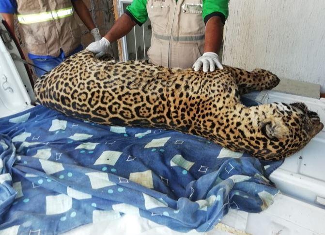 Resultado de imagen para jaguar cazado en veracruz