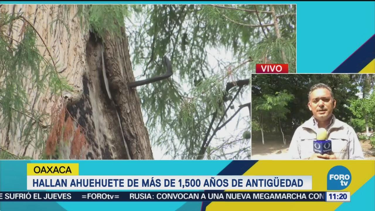 Hallan Ahuehuete 1,557 Años Antigüedad Tras Sismo Oaxaca