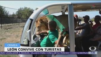 León aborda coche con turistas en parque safari de Crimea