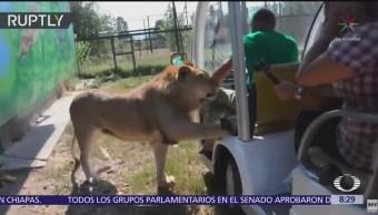 León se sube a carrito de safari en Rusia