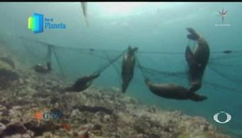 Lobos marinos en el Mar de Cortés, especie amenazada