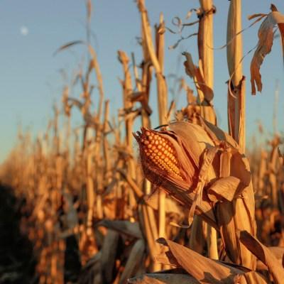 Maíz de México que se fertiliza a sí mismo podría revolucionar la agricultura mundial