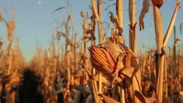 Palomita natural de maíz, tradición en peligro de extinción