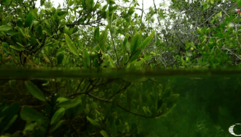 """""""Carbono azul"""" protege manglares para eliminar dióxido de carbono"""