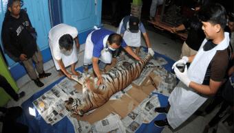 Muere tigresa en Indonesia al caer en trampa para cerdos