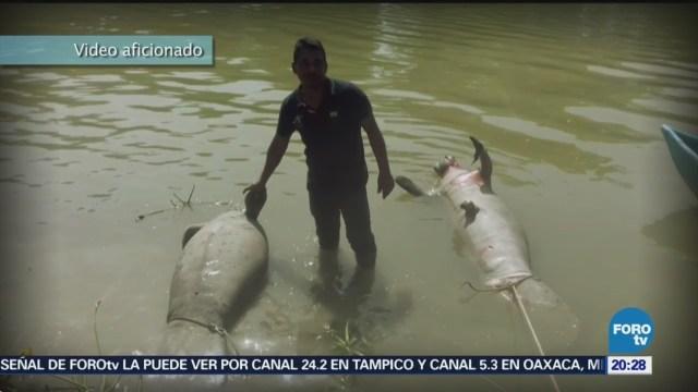 Nuevamente Avistaron Manatíes Macuspana Río Bitzal