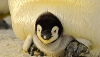 pingüino, bebé, dinamarca, zoológico
