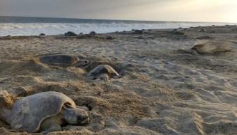 Tortugas desovan en Oaxaca, Profepa mantiene operativo de protección