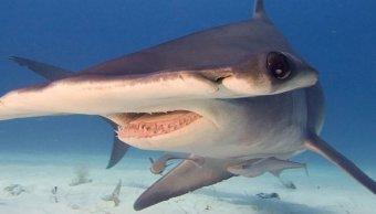 Descubren el primer tiburón omnívoro que come algas