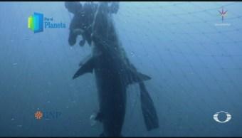 Tiburones amenazados por pesca furtiva en el Mar de Cortés