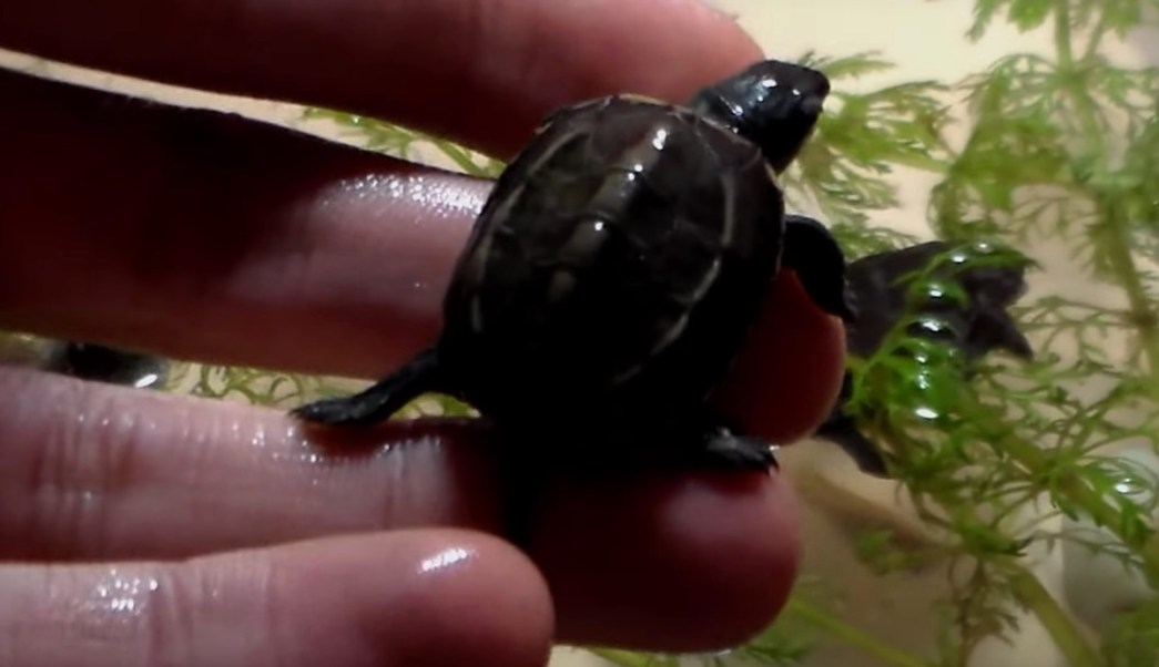 Tortugas Chinas Tres Crestas Vagina Mujer