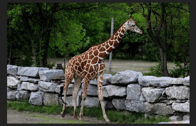 Una jirafa aplasta a una mujer e hijo en Sudáfrica